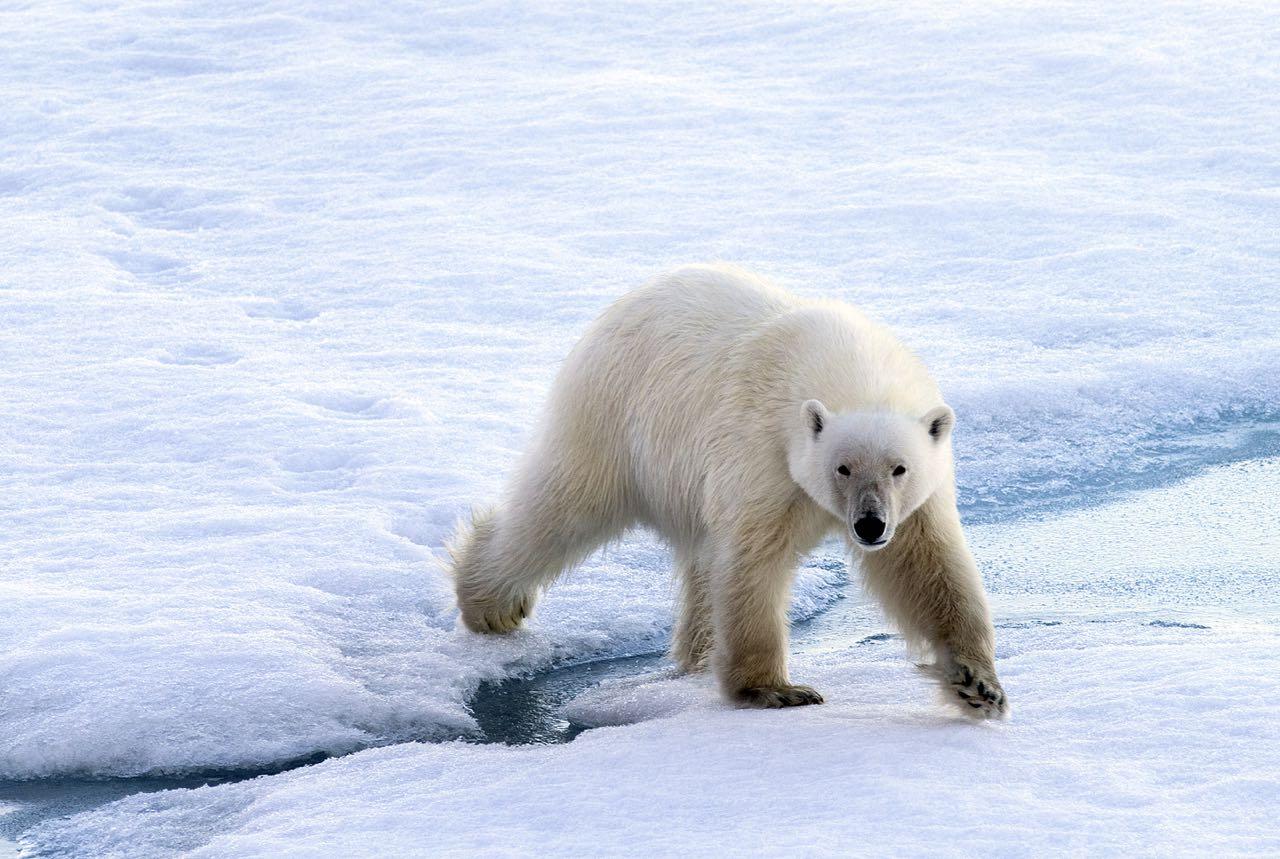 Jääkarhu astuu jäällä railon yli.