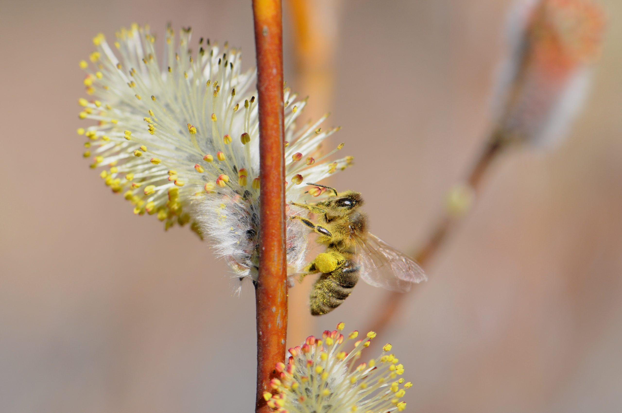 Mehiläinen pajun kukinnolla.