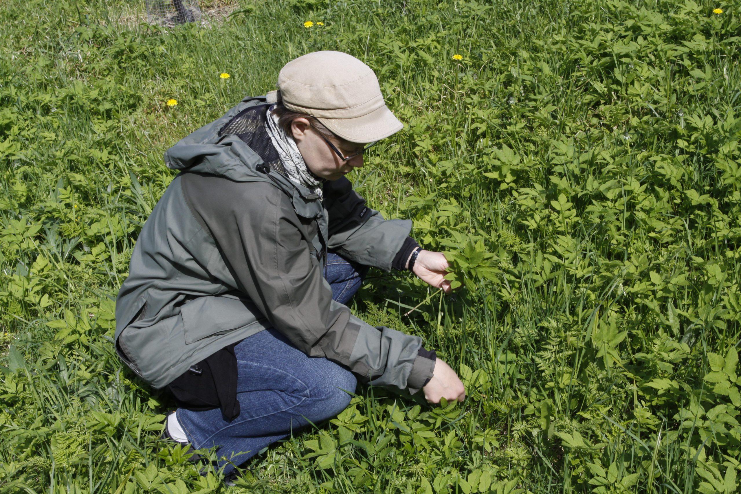 Nainen kerää vuohenputken versoja.